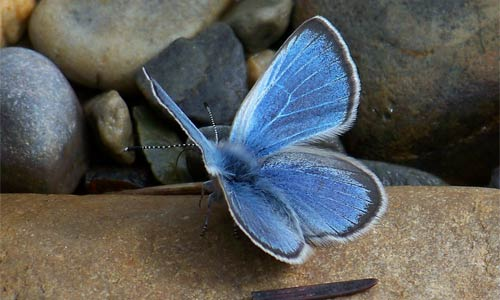 Blue Copper Butterfly in the Clark Fork Watershed of western Montana and northern Idaho, where a coalition of stakeholders successfully advocated for the removal of the Milltown Dam.