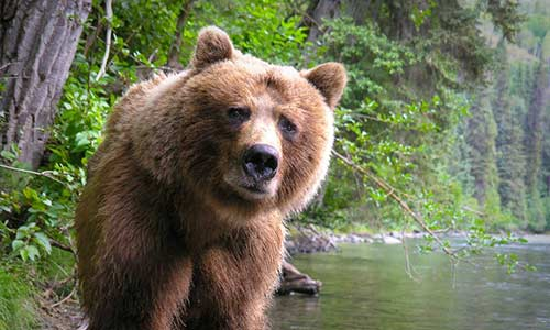 Yellowstone grizzly protections restored